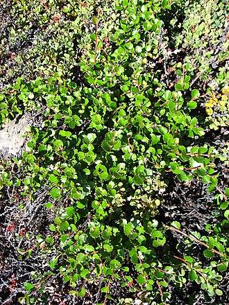 Circumboreal Region - Betula nana in Greenland