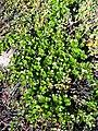 Betula nana upernavik kujalleq 2007-07-25 1.jpg