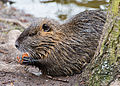 Biberratte - Nutria - coypu - Myocastor coypus - ragondin - castor des marais - Mönchbruch - March 23th 2013 - 04.jpg