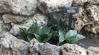 Sansevieria trifasciata - Sansevieria trifasciata 'Hahnii', a dwarfed cultivar