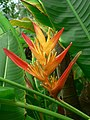 Bird of Paradise Flower (^), Humid Tropics Biome, Eden Project - geograph.org.uk - 230953.jpg