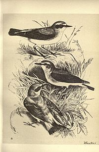 Birds from Moidart and elsewhere (Plate 28) (8511357492).jpg