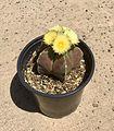 Bishop's Cap Cactus flowering.jpg