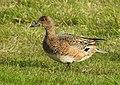 Bläsand Eurasian Wigeon (19729585183).jpg