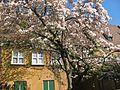 Blühender Baum in der Fuggerei.jpg