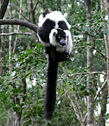 Black-and-white ruffed lemur resting on a branch