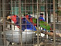 Black-capped Lory - Lorius lory - Ninoy Aquino Parks & Wildlife Center 01.jpg