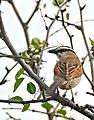 Black-crowned Tchagra (Tchagra senegalus) (32300572725).jpg