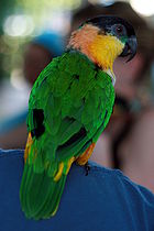 Black-headed Parrot (Pionites melanocephalus) -back.jpg