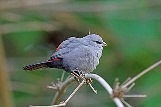 Grey waxbill species of bird