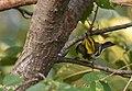Black-throated Green Warbler (43189504080).jpg