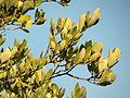 Black Mangrove Leaves - Flickr - treegrow.jpg