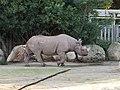 Black Rhino at the San Francisco Zoo .jpg