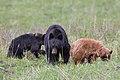 Black bear with cubs (772a9ae1-a841-4d01-910a-484d8842cda0).jpg