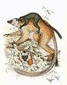 Black lemur 1868.jpg