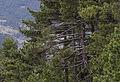 Black pine - Karaçam 04.jpg