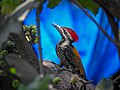 Black rumped flameback 03.jpg