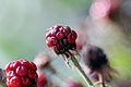 Blackberry(not ripe yet) (1491340840).jpg