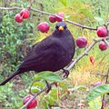 Blackbird in Crab Apple Tree - geograph.org.uk - 1572959.jpg