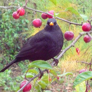 English: Blackbird in Crab Apple Tree. On a dr...