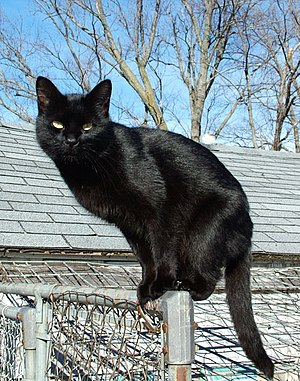 Black cat - Some cultures are superstitious about black cats, ascribing either good or bad luck to them.