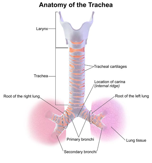 Trachea Wikiwand
