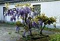 Blauwe Regen (Wisteria), Chinese tuin Het Verborgen Rijk van Ming in de Hortus Haren.jpg