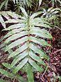 Blechnum (Pteridophyta).jpg