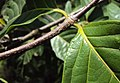 Blepharistemma serratum 03.JPG