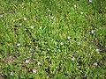 Blooming Erodium cicutarium plants.JPG