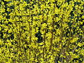 Blooming Forsythia 02.jpg