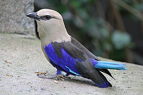 Blue-bellied Roller (2).jpg