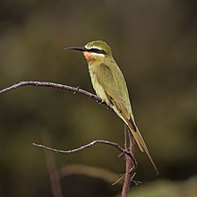 Blue-cheeked bee-eater (Merops persicus chrysocercus).jpg