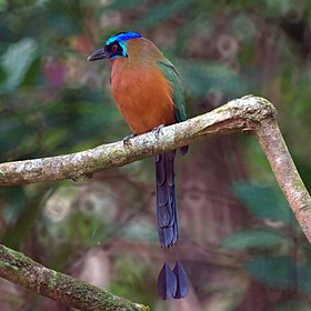 Blue-crowned Mot Mot (5535489339).jpg