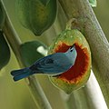 Blue-gray Tanager eating a papaya (16689153472).jpg