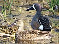 Blue-winged Teal (17101026748).jpg
