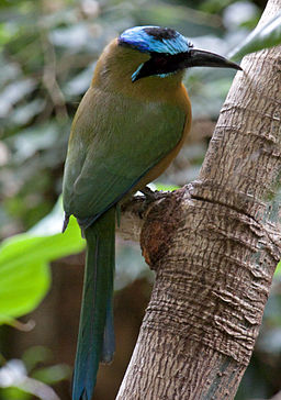 Blue Crowned Motmot (4693084852)