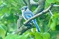 Blue Jay (34719659734).jpg