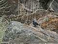 Blue Rock Thrush (Monticola solitarius) (28948098482).jpg