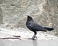 Blue whistling Thrush I IMG 3065.jpg