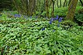 Bluebells - geograph.org.uk - 1536222.jpg