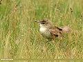Blyth's Reed Warbler (Acrocephalus dumetorum) (44520878755).jpg