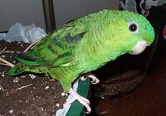 Barred parakeet - A natural coloured pet parrot