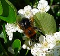 Bombus hypnorum - Flickr - gailhampshire (1).jpg