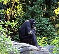 Bonobo 017.jpg