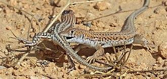 Courtship display - Bosc's fringe-toed lizard Acanthodactylus boskianus love bite