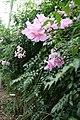 Bougainvillea Scarlett OHara 5zz.jpg
