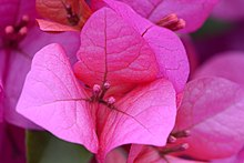 Bougainvillea closeup.jpg