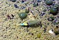 Branchipus schaefferi 1 Mare cupulaire de la Croix de la Garoute FD Morières-Montrieux Méounes 83 VI-2008.jpg