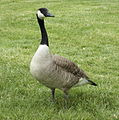 Branta canadensis Attentive adult on lawn 2.jpg